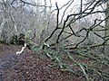 Fallen Ash tree in ancient woodland - geograph.org.uk - 924488.jpg
