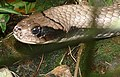 False Water Cobra (Hydrodynastes gigas) (Captive specimen) (26709438128).jpg