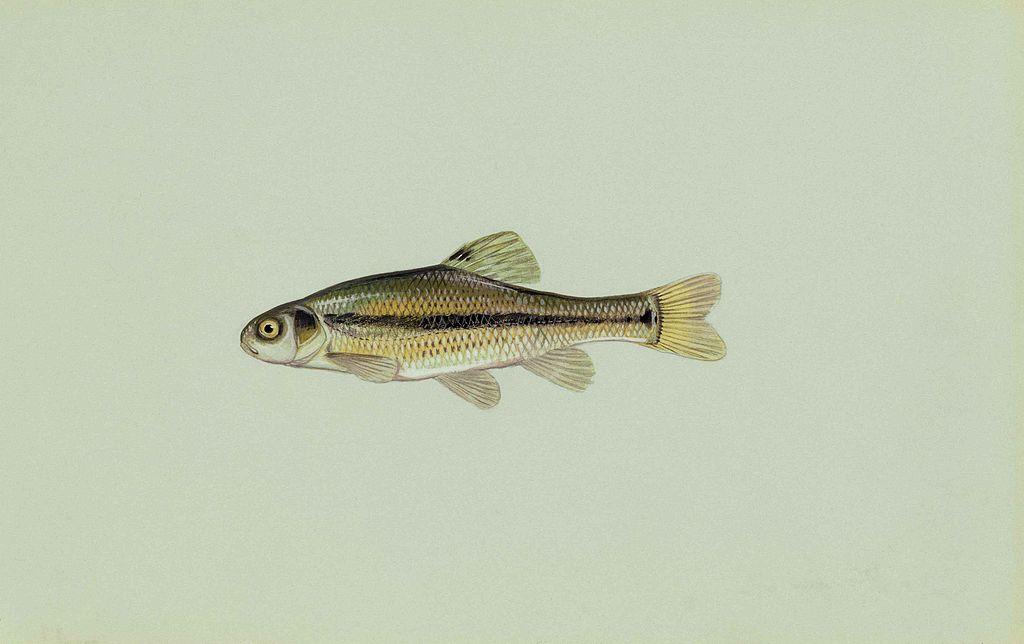 File:Fathead minnow fish pimephales promelas.jpg ...