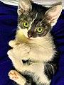 Felis catus (cat).jpg