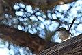 Female Fairy-wren.JPG