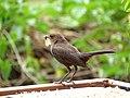 Female Robin.jpg