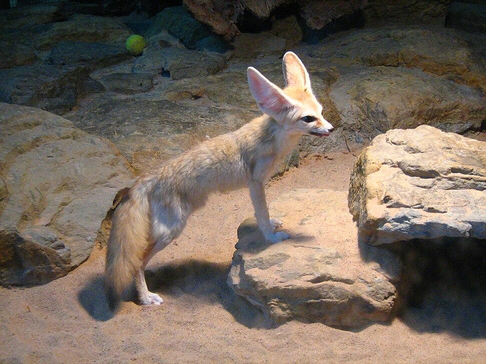 Fennec Fox (Vulpes zerda) Wilhelma Zoo-8