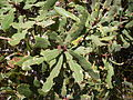 Fern-leaved Banksia leaves (3375520700).jpg