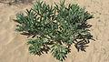 Ferula assa-foetida (Uzbekistan) 2.jpg