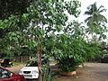 Ficus Religiosa - ആല്.JPG