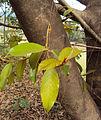 Ficus drupacea 11.JPG