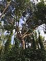 Ficus mysoorensis in Bedaguli coffee estate.jpeg