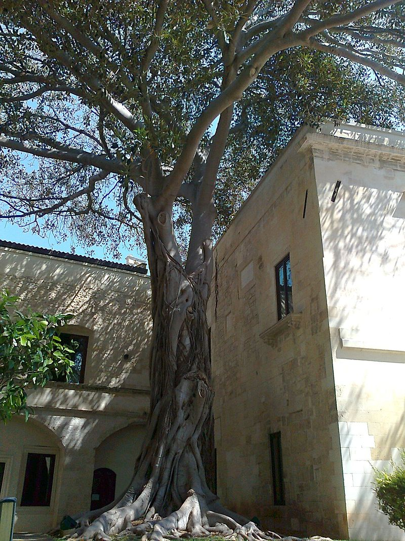 Ficus nel giardino dell´Ex Conservatorio di Sant´Anna.jpg