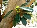 Ficus rubiginosa, vrugte, a, Pretoria.jpg