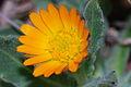 Field Marigold (Calendula arvensis) (8527754546).jpg