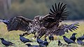 Fighting white-tailed eagles (Haliaeetus albicilla) (1).jpg