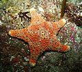 Firebrick Starfish (Asterodiscides truncatus).jpg