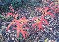 Fireweed (3283297030).jpg