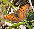 First Commas...2 seen - Flickr - gailhampshire.jpg