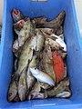 Fish caught in Persian (Arabian) Gulf, off coast of Ras Al Khaimah.jpg