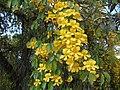 Flôres nativas formam uma bêla cascata sobre galhos da árvore. - panoramio.jpg