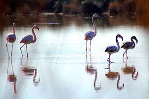 Moulouya River - Flamingoes in the Moulouya.