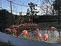 Flamingoes in Ueno Zoo2 20180206.jpg