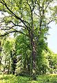 Flatter-Ulme-Ulmus laevis-1. 9-13-B.jpg