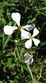 Fleur de Radis ravenelle.jpg