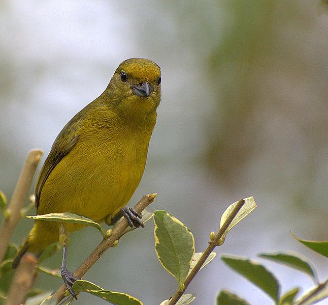File:Flickr - Dario Sanches - GATURAMO-VERDADEIRO - fêmea ( Euphonia violacea) (2).jpg
