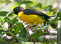 Flickr - Rainbirder - Dark-backed Weaver (Ploceus bicolor) (cropped).jpg