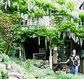 Flickr - brewbooks - Mary Ellen with hanging wisteria.jpg