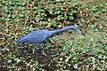 Flickr - ggallice - Little blue heron.jpg