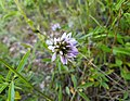 Flor d'herba cabruna per Masserof, Xaló.jpg