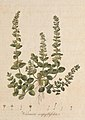 Flora Londinensis, or, Plates and descriptions of such plants as grow wild in the environs of London (8281138491).jpg