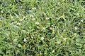 Flora of Yercaud 9900.jpg