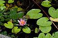 Flower, Water lilies - Flickr - nekonomania (2).jpg
