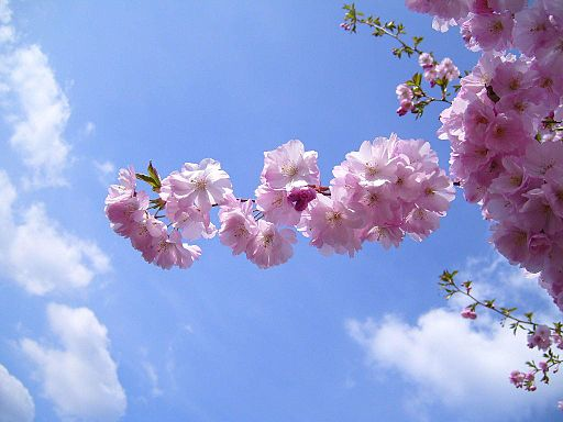 Flowering cherry flowers