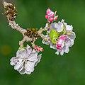 Flowers of Malus domestica (16).jpg
