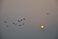 Flying Egrets & Equinox Sun - Kolkata 2012-03-20 9329.JPG