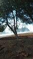 Fog Tree in Al - Mujib Dam.jpg