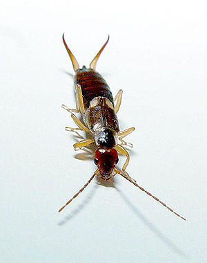 Cercus - Earwig with large cerci (top)