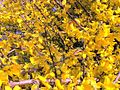 Forsythia flowering bush.jpg