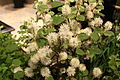 Fothergilla major 'Mt. Airy'.JPG