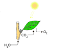 Fotosynteza2.png