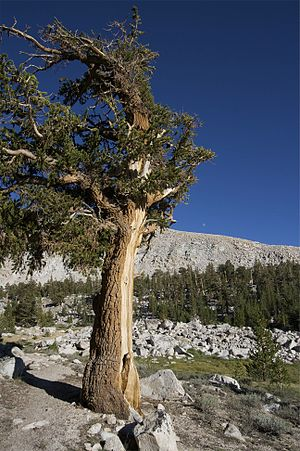 Pinus balfouriana - A Foxtail Pine in the southern Sierra Nevada.