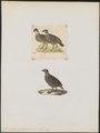 Francolinus pintadeanus - 1700-1880 - Print - Iconographia Zoologica - Special Collections University of Amsterdam - UBA01 IZ17100073.tif