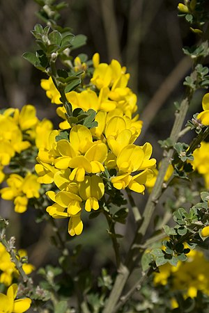Genisteae - French broom, Genista monspessulana