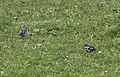 Fringilla coelebs - Common Chaffinch, Giresun 2018-08-16 2.jpg