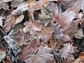 Frosty leaves - geograph.org.uk - 636617.jpg