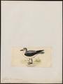 Fulmarus cookii - 1820-1860 - Print - Iconographia Zoologica - Special Collections University of Amsterdam - UBA01 IZ17900094.tif
