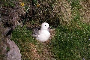 Northern fulmar - Nesting in Shetland, Scotland