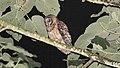 Fulvous Owl (Strix fulvescens).jpg