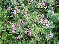 Fumitory flowers - geograph.org.uk - 596944.jpg